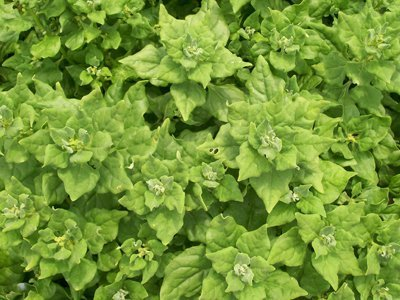 David's Garden Seeds Spinach New Zealand EB686 (Green) 100 Heirloom Seeds