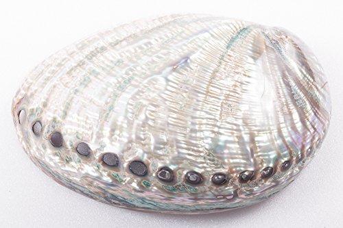 Abalone Iris (Abalone Shell Paua Shellfish Haliotis iris Seashell Gmelin, 1791 Sea Home Decor Natural Real from Ocean Marine Sea)