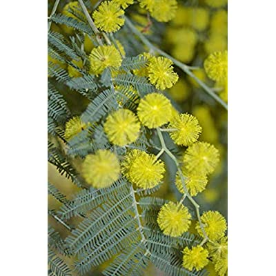 Cheap Fresh Exotic Seeds Acacia Dealbata Hardy Acacia Get 5 Seeds Easy Grow #GRG01YN : Garden & Outdoor