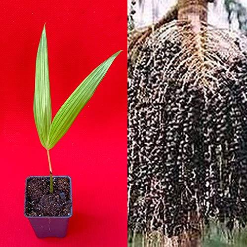 para Dwarf Acai Euterpe Oleracea Fruit Palm Tree Seedling Starter Plant