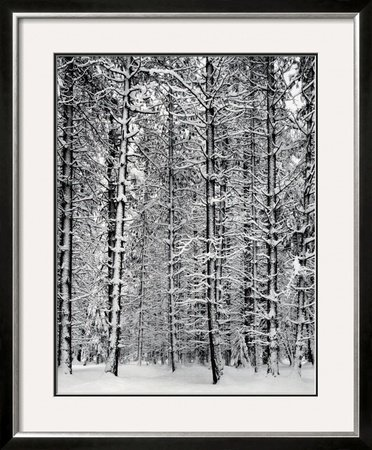 Pine Forest in Snow, Yosemite National Park, 1932 Framed Art Poster Print by Ansel