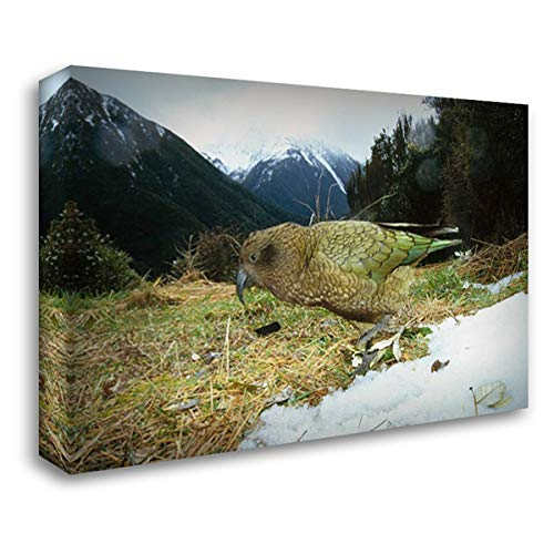 Kea Parrot in Alpine Scrub, Arthurs Pass National Park, New Zealand 40x28 Gallery Wrapped Stretched Canvas Art by De Roy, Tui (National Pass Park Arthurs)