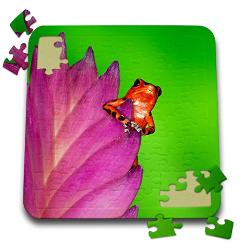 3dRose Danita Delimont - Frogs - Panama. Strawberry Poison Dart Frog on bromeliad Flower. - 10x10 Inch Puzzle (pzl_314396_2)
