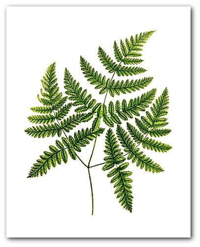 Fern Print, Botanical Three Branch Polypody, 8 x 10 Inches, Unframed ()