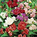 Outsidepride Impatiens - Balsam