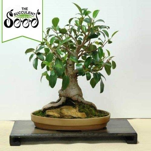 - Portal Cool Seeds Package: Moreton Bay Fig - Ficus Macrophylia (100 Bonsai Seeds)