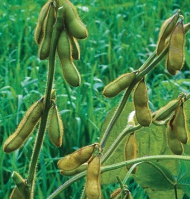 David's Garden Seeds Bean Soy Envy D105A (Green) 100 Organic Seeds