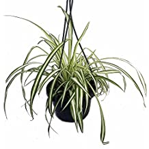 """Ocean Spider Plant - Easy to Grow - Cleans the Air - NEW - 6"""" Hanging Basket"""