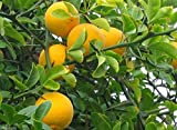 Hardy Orange seed (Poncirus trifoliata) a.k.a Chinese Bitter Orange,Hardy zone 5(100 Seeds)