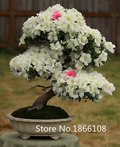 bonsai-seeds-rhododendron-seeds-potted-azalea-biji-tree-seeds-varieties-complete-200-particles-bag