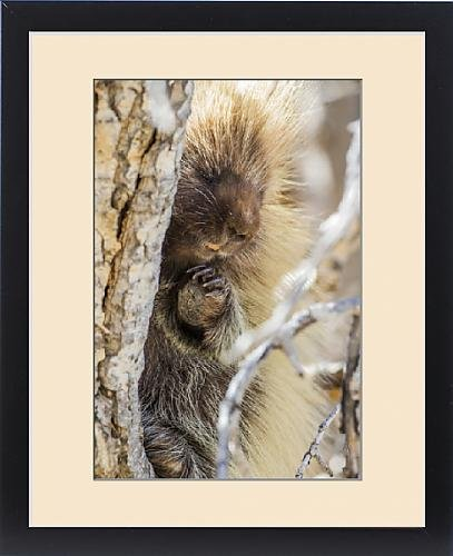 Framed Print of USA, Wyoming, Sublette County, a Porcupine peers from the trunk of a cottonwood by Fine Art Storehouse