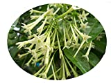 NIGHT BLOOMING JASMINE Cestrum Nocturnum Plant Fragrant Green White Flowers Starter Size 4 Inch Pot Emeralds tm