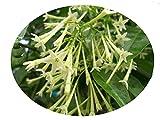 NIGHT BLOOMING JASMINE Cestrum Nocturnum Plant Fragrant Green White Flowers Starter Size 4 Inch Pot Emeralds tm