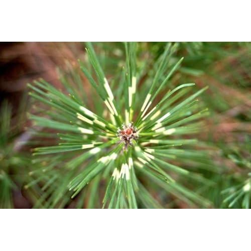 Discount Dragon Eye Japanese Black Pine 3 - Year Graft hot sale 0Gf0vBIE