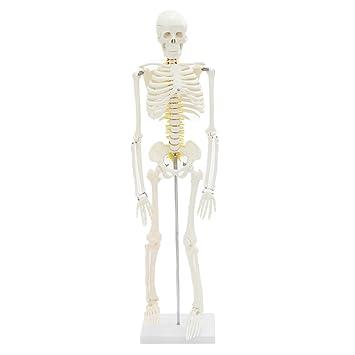 F Fityle 85 CM Höhe Menschliches Körper Skeleton Anatomie Modell für ...