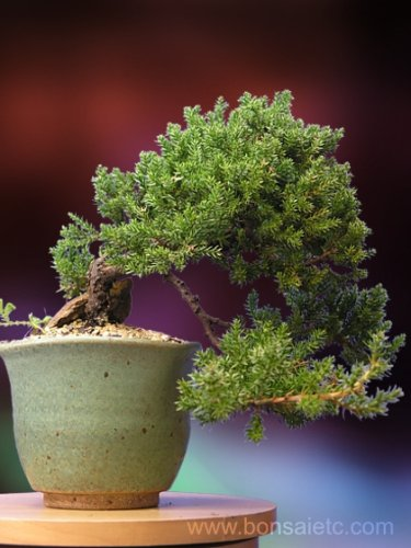 A 10 Plus Year Old Japanese Juniper Bonsai Tree by Nature's Highlight