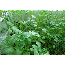 Cilantro Seeds For Planting 600 pcs, Big Leaf Varieties Of Annual Herbs Vegetable Seeds, Mini Garden Coriandrum Sativum L. Seeds