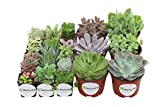 Shop Succulents Assorted Succulents 2'' & 4'' Combo Pack (72, 64x2'' plants 8x4'' plants)