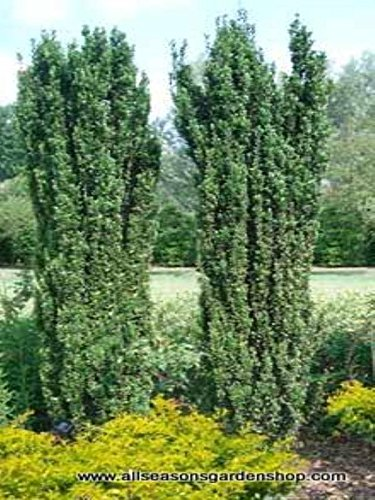 Japanese Sky 'Pencil Holly', evergreen upright, TWENTY plants - Japanese Pencil Tree