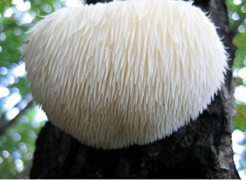 100-lions-mane-mushroom-plug-spawn