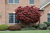 "Japanese Maple Acer palmatum Tree - 3.5"" potted 1' - 2' tall Healthy Plant - 2 pack by Growers Solution"