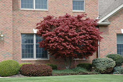 Japanese Maple Acer palmatum Tree - 3.5'' potted 1' - 2' tall Healthy Plant - 2 pack by Growers Solution by Growers Solution (Image #1)
