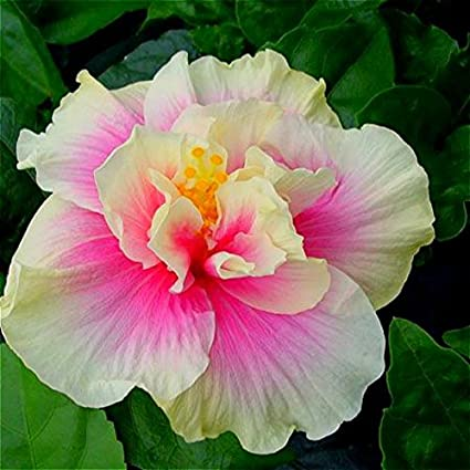 Amazoncom 50 Particlebag Giant Hibiscus Flower Seeds Hardy Mix