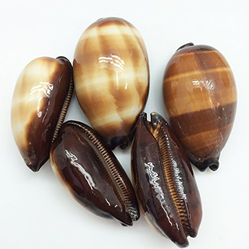 - PEPPERLONELY 5PC Polished Chocolate Banded Cowry Sea Shells, 2-1/4 Inch ~ 3 Inch