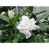August Beauty Gardenia ( Cape Jasmine ) - Trade Gallon