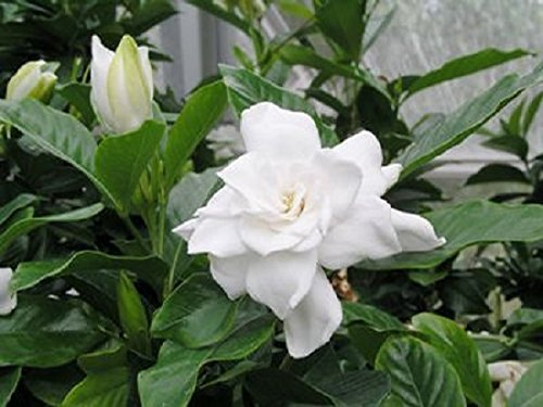 August Beauty Gardenia ( Cape Jasmine ) - Trade Gallon