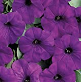 #3: Wave Spreading Petunia Easy Wave Blue - Four Plants in 4