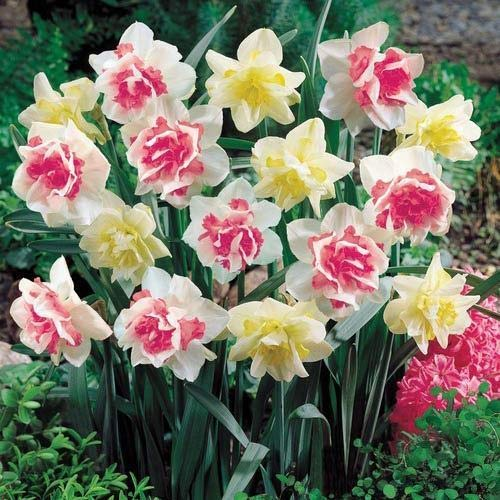 5 Double Pink Yellow Daffodil Mix Bulbs Garden Hardy Perennial Fall Narcissus