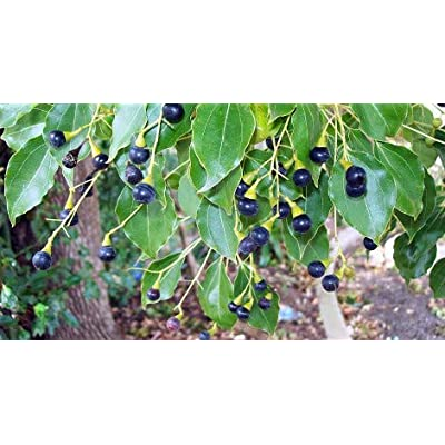 50 Cinnamomum camphora Tree Seeds, Camphor Laurel, Camphor Tree Seeds : Garden & Outdoor