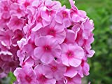 Phlox paniculata ''Bright Eyes'' (3 roots), Summer Phlox (Plant/ Root)