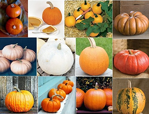 David's Garden Seeds Collection Set Pumpkin Seed QP9655 (Multi) 12 Varieties 200+ Seeds (Open Pollinated, (Garden Seed Collection)