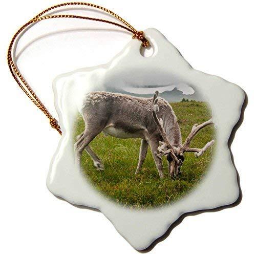 Ornaments to Paint Danita Delimont - Deer - Europe, Scotland, Cairngorm National Park. Reindeer grazing. -