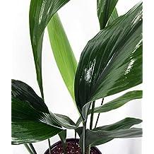"Cast Iron Plant - Aspidistra - Grows in Dim Light - 6"" Pot"
