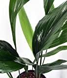 "Cast Iron Plant - Aspidistra - Grows in Dim Light - 6"" Pot"