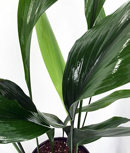 Cast Iron Plant - Aspidistra - Grows in Dim Light - 6