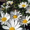 Outsidepride Chrysanthemum - Creeping Daisy
