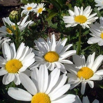 Outsidepride Chrysanthemum Creeping Daisy - 5000 Seeds for sale  Delivered anywhere in USA