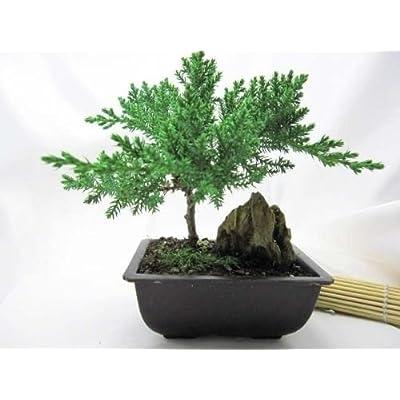 Bonsai Juniper Live Tree Mountains Plant Zen Hooseplan Best Gift Yard Indoor: Garden & Outdoor