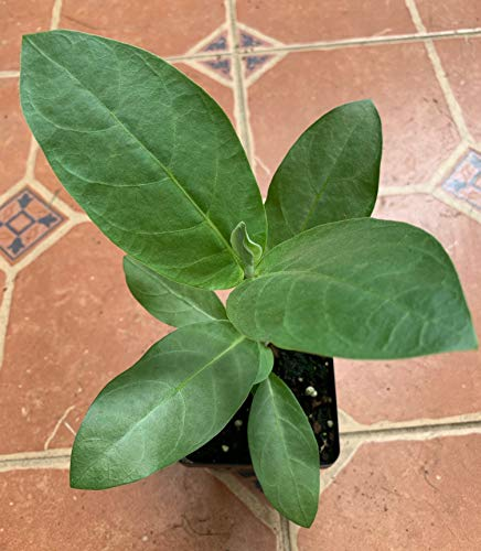 (Giant Milkweed Tree, Calotropis procera, 4-inch, MPC100A)