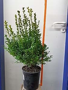 10 artículos Plantas de cobertura boj (Buxus sempervirens), tamaño 70cm de alto pote: 19cm, de hoja perenne