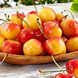 Rainier Sweet cherry yellow white fruit flesh very sweet fruit tree 10 seeds