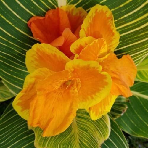 Tropicanna Gold Canna Lily Rhizome BulbsRARE Intense Exotic Tropical Foliage ()