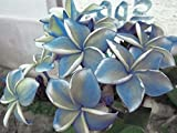 """""""BLUE ALBA"""" FRAGRANT PLUMERIA'S CUTTING WITH ROOTED 7-12 INCHES REGISTERED TRACK ONLINE 100%GUARANTEE SATISFICATION AND …"""