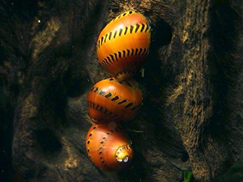 Aquatic Arts 20 Live Tiger Nerite Snails | Freshwater Aquarium Algae Eater/Real Living Nano Fish Tank Pet | Glass Cleaning Snail | Natural Decor