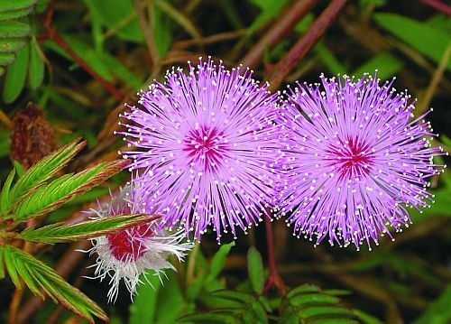 (*Seeds and Things Sensitive Plant 50 Seeds -Leaves Move- Tropical Sensitive Plant Is an Easy to Grow House Plant That Snaps It's Leaves Shut When Touched!)