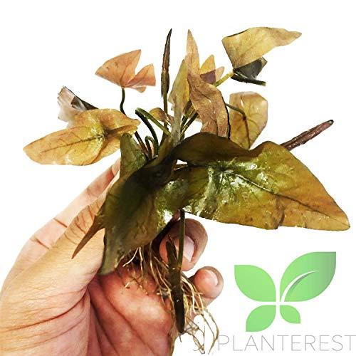 (Planterest - Dwarf Water Lily | Nymphaea Stellata Rubra Potted Freshwater Live Aquarium Plant BUY2GET1FREE)